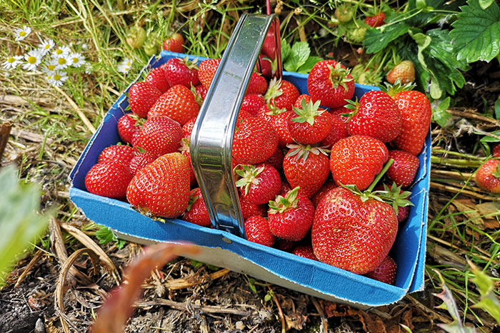 Strawberries picked up from the field